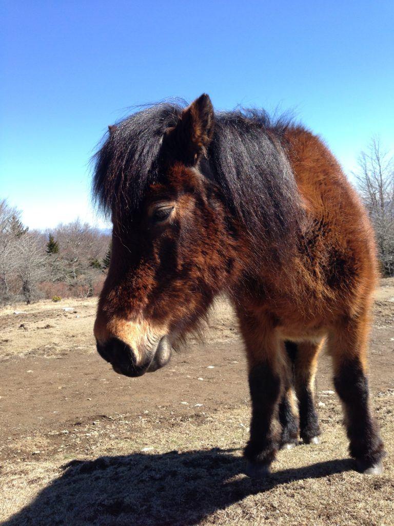 Grayson Highlands pony, Credit: Sammi Eubanks